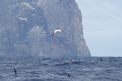Wandering Albatross Lord Howe Island, NSW January 01, 2012 IMG_0579