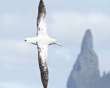 Wandering Albatross Lord Howe Island, NSW January 01, 2012 IMG_0499