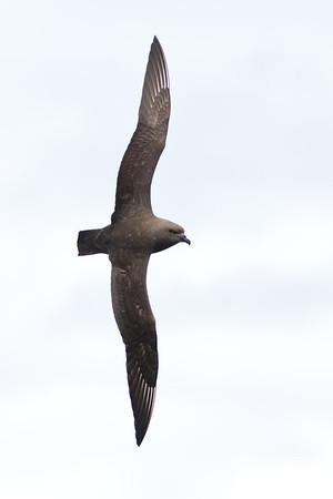 Kermadec Petrel (Pterodroma neglecta)