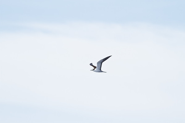 Sooty Tern Wollongong, NSW January 28, 2012 IMG_4843