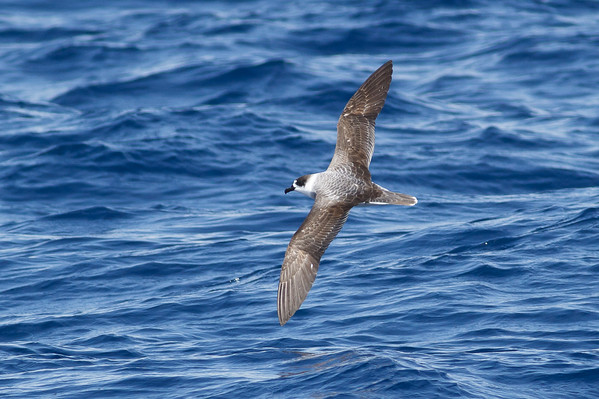 White-necked Petrel Wollongong, NSW January 28, 2012 IMG_4778