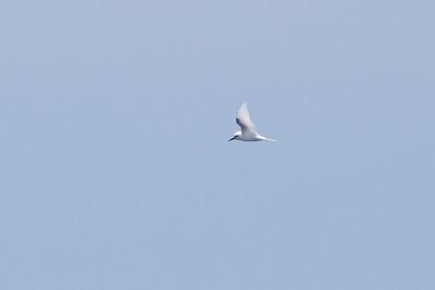White Tern Wollongong, NSW January 28, 2012 IMG_4970