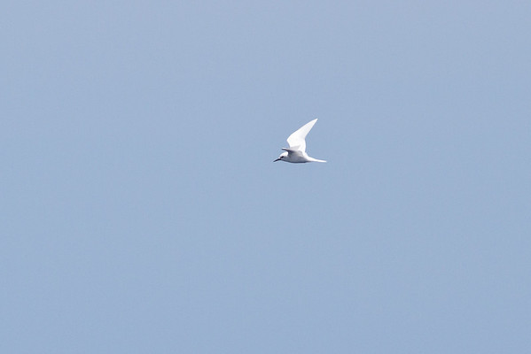 White Tern Wollongong, NSW January 28, 2012 IMG_4972
