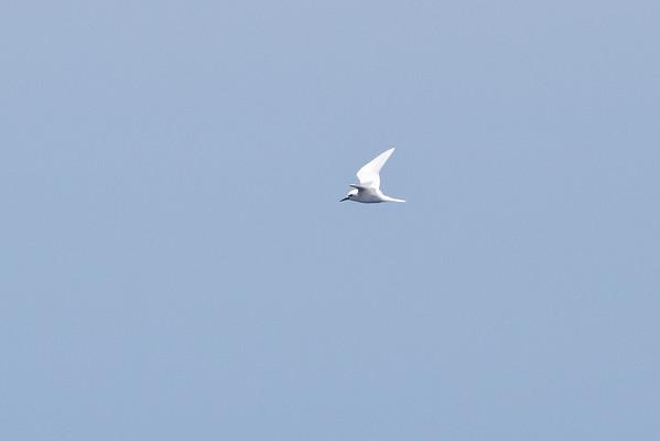 White Tern Wollongong, NSW January 28, 2012 IMG_4972