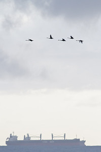 Black Swan Wollongong, NSW January 28, 2012 IMG_4271
