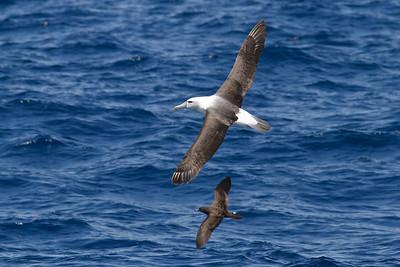 Shy Albatross; Wedge-tailed Shearwater Wollongong, NSW January 28, 2012 IMG_5027