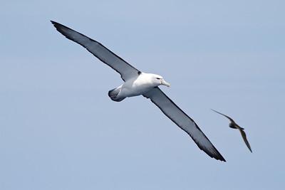 Shy Albatross Wollongong, NSW January 28, 2012 IMG_5032