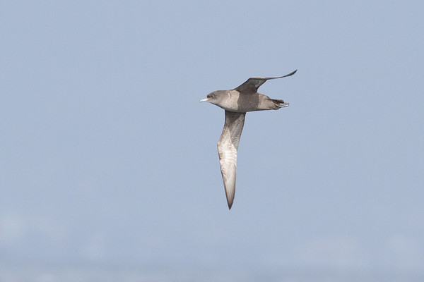 Short-tailed Shearwater Wollongong, NSW January 28, 2012 IMG_4467