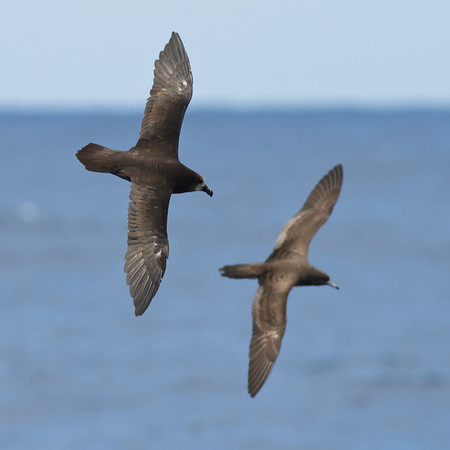Grey-faced Petrel, Wedge-tailed Shearwater Wollongong, NSW January 28, 2012 IMG_4896