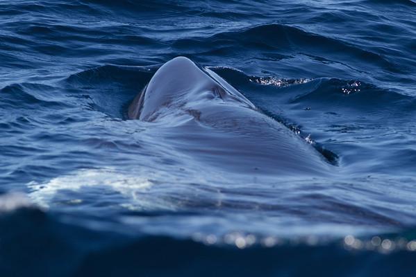 Dwarf Minke Whale Sydney, NSW July 14, 2012 IMG_6050