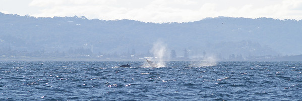 Humpback Whale Sydney, NSW July 14, 2012 IMG_6138