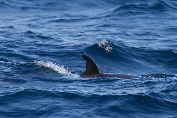 Dwarf Minke Whale Sydney, NSW July 14, 2012 IMG_6021