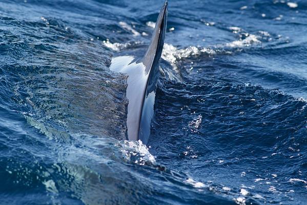 Dwarf Minke Whale Sydney, NSW July 14, 2012 IMG_6101