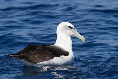 Shy Albatross Sydney, NSW March 10, 2012 IMG_7168