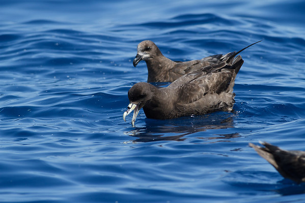 White-chinned Petrel, Grey-faced Petrel Sydney, NSW March 10, 2012 IMG_7322