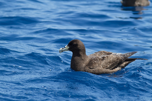 White-chinned Petrel Sydney, NSW March 10, 2012 IMG_7272