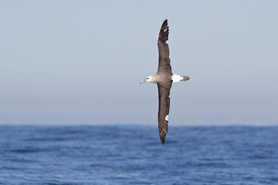 Shy Albatross Sydney, NSW March 10, 2012 IMG_6901
