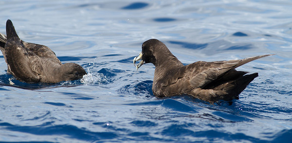 White-chinned Petrel Sydney, NSW March 10, 2012 IMG_7420