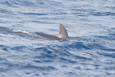 False Killer Whale Sydney, NSW May 12, 2012 IMG_5340