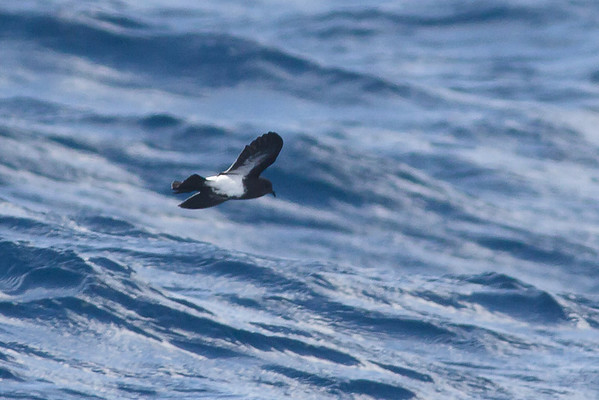 Black-bellied Storm-petrel Sydney, NSW May 12, 2012 IMG_5443