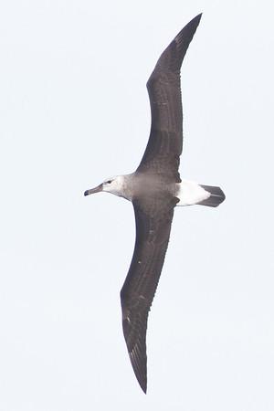 Black-browed Albatross Sydney, NSW May 12, 2012 IMG_4262