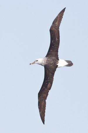 Black-browed Albatross Sydney, NSW May 12, 2012 IMG_4277