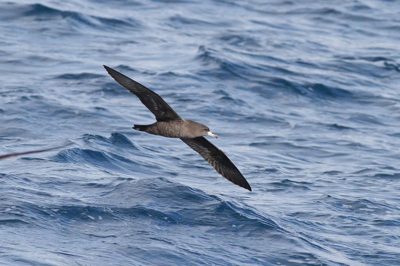 Flesh-footed Shearwater November 24, 2012 Wollongong, NSW IMG_4741