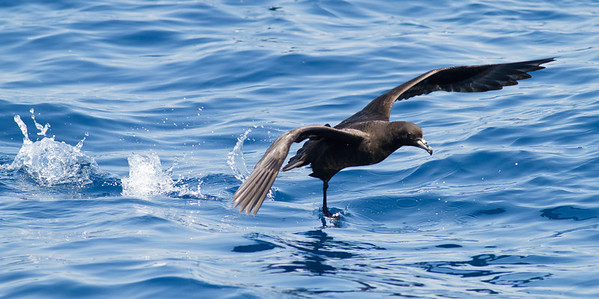 Black Petrel November 24, 2012 Wollongong, NSW IMG_5205