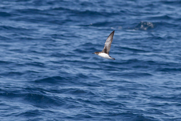 Hutton's Shearwater November 24, 2012 Wollongong, NSW IMG_4810