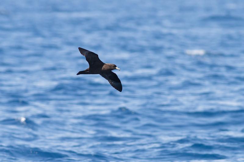 Black Petrel November 24, 2012 Wollongong, NSW IMG_5275