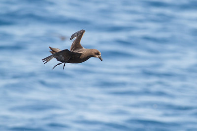 Grey-faced Petrel November 24, 2012 Wollongong, NSW IMG_5158