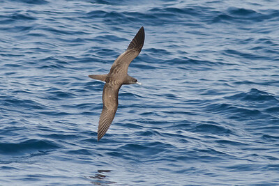 Wedge-tailed Shearwater November 24, 2012 Wollongong, NSW IMG_4728