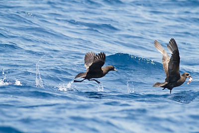 Black Petrel chasing Grey-faced Petrel November 24, 2012 Wollongong, NSW IMG_5384