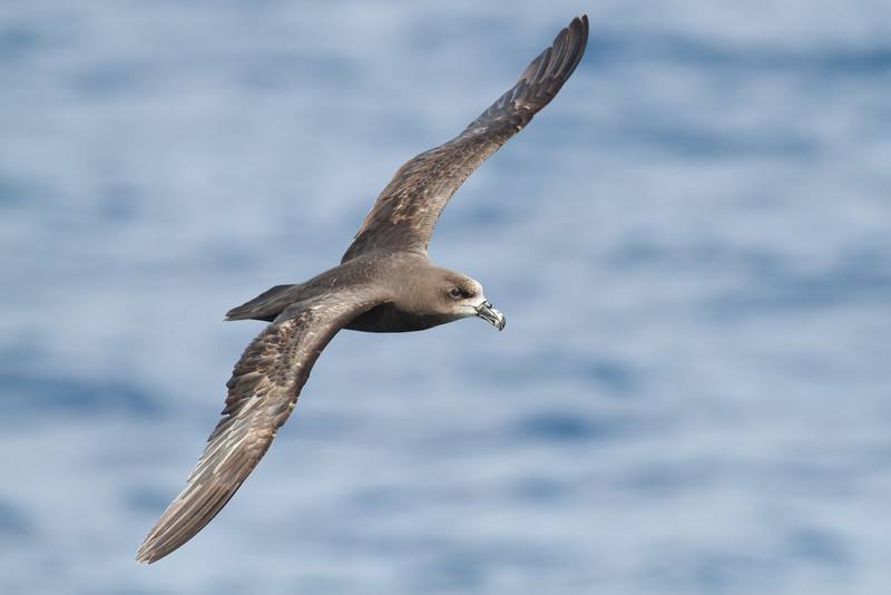 Grey-faced Petrel November 24, 2012 Wollongong, NSW IMG_5068