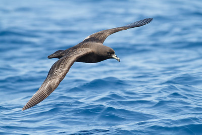Black Petrel November 24, 2012 Wollongong, NSW IMG_5237