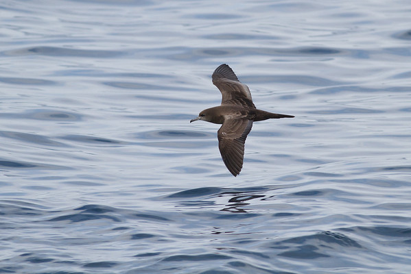 Wedge-tailed Shearwater November 24, 2012 Wollongong, NSW IMG_4718