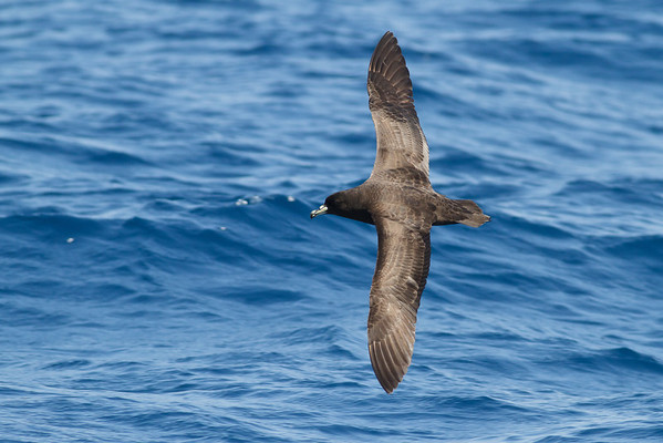 Black Petrel November 24, 2012 Wollongong, NSW IMG_5234