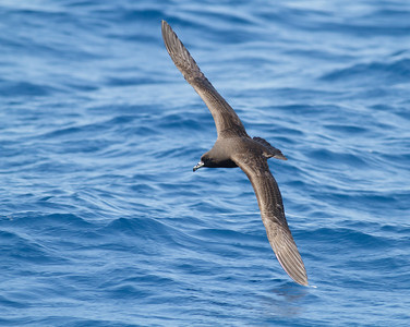 Black Petrel November 24, 2012 Wollongong, NSW IMG_5423