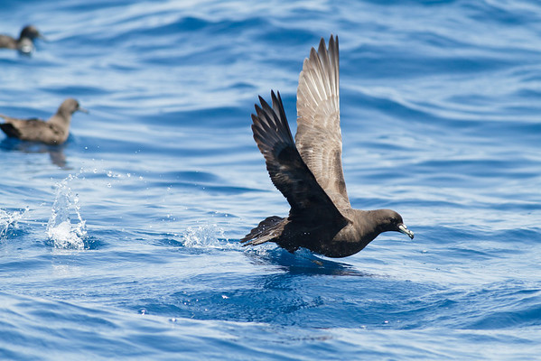 Black Petrel November 24, 2012 Wollongong, NSW IMG_5216