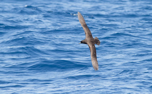 Black Petrel November 24, 2012 Wollongong, NSW IMG_5222
