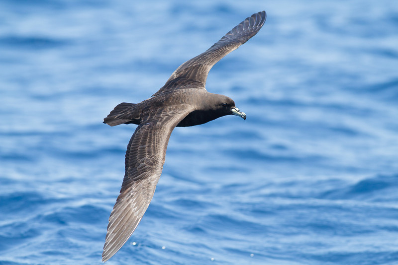 Black Petrel November 24, 2012 Wollongong, NSW IMG_5411