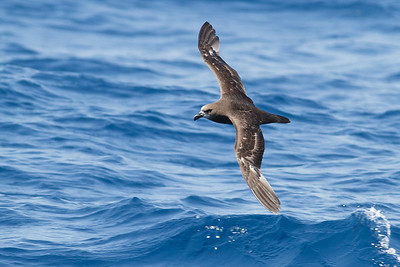 Grey-faced Petrel November 24, 2012 Wollongong, NSW IMG_5267