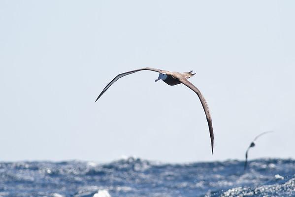 Wandering Albatross (juvenile) Sydney, NSW September 08, 2012 IMG_4244