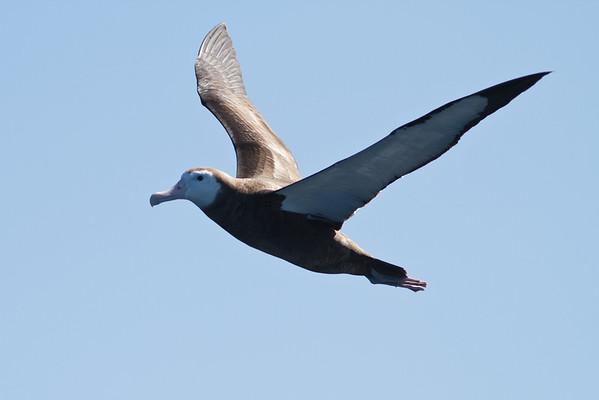 Wandering Albatross (juvenile) Sydney, NSW September 08, 2012 IMG_4252