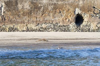 Pink-eared Duck Sydney, NSW September 08, 2012 IMG_3523