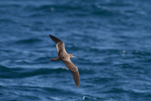Wedge-tailed Shearwater Sydney, NSW September 08, 2012 IMG_4697