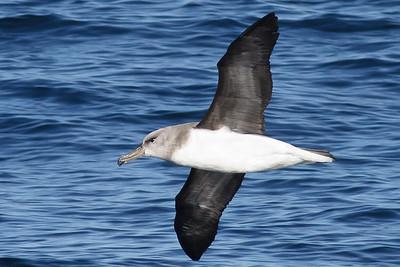 Grey-headed Albatross Wollongong, NSW September 22, 2012 IMG_6960
