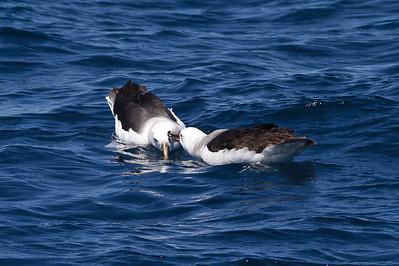 Black-browed Albatross Wollongong, NSW September 22, 2012 IMG_7388