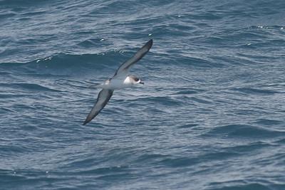 Barau's Petrel February 09, 2013 Sydney, NSW IMG_4016