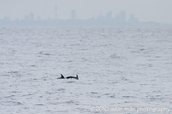 Risso's Dolphin Sydney, NSW April, 2010 IMG_2714
